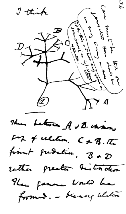 Darwin's notebook sketch of an evolutionary tree. Charles Robert Darwin, Transmutation of Species, 1837