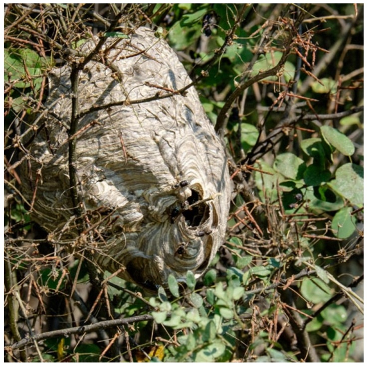 Artist: Cathryn Miller and Bald-faced Hornets Recomp, 2015 Nest composed of pages from Decomp, Collis and Scott (2013) Photo credit: David G. Miller